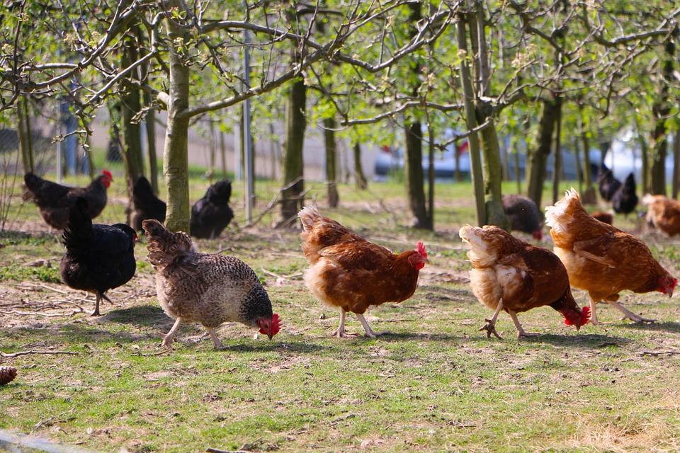 Hühner auf einer Wiese